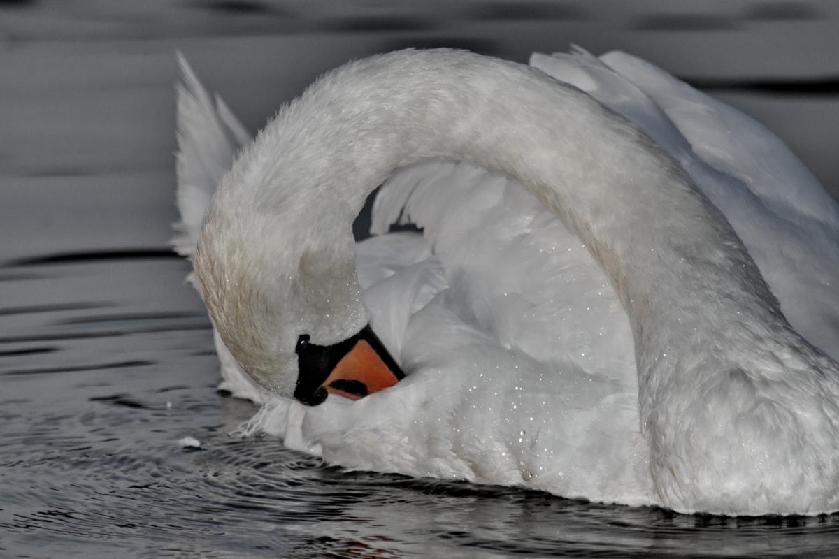 beautiful, feather, head, neck, swan, swimming, wet, water, aquatic bird, winter