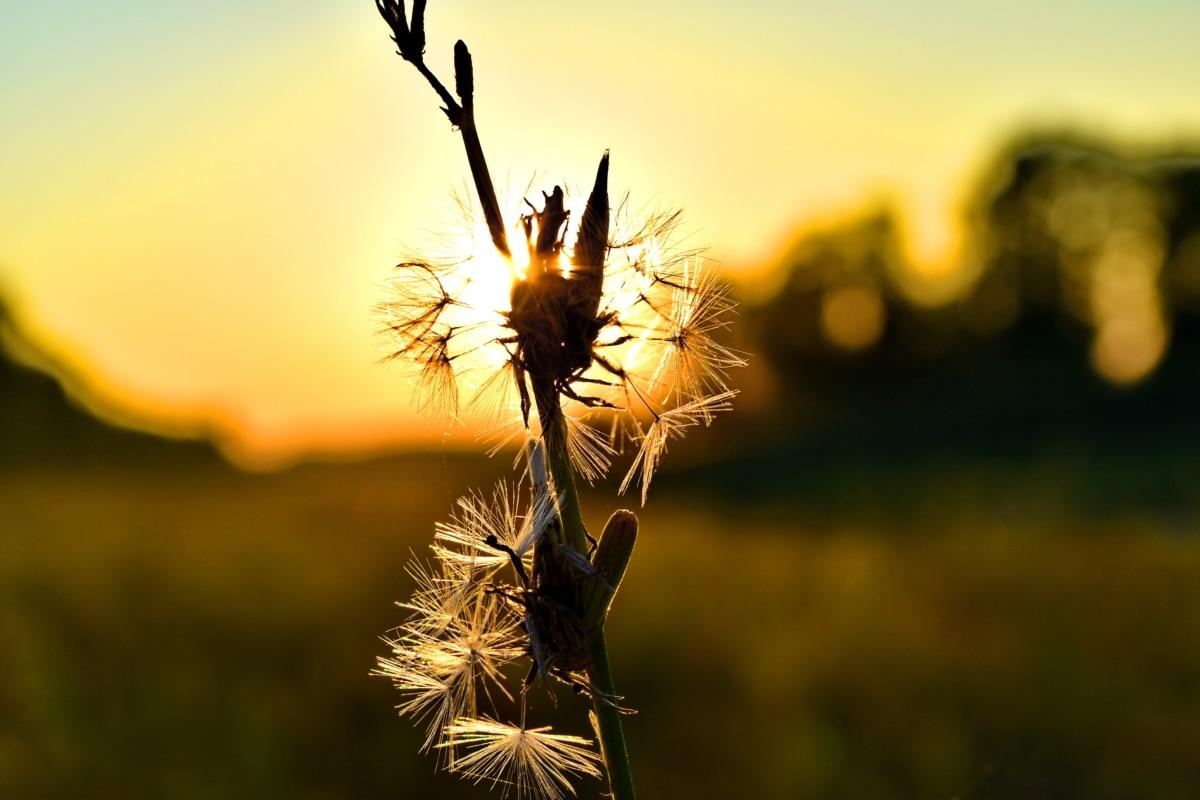 dandelion, detail, sunrays, sunset, sunspot, wheat, nature, sun, summer, outdoors