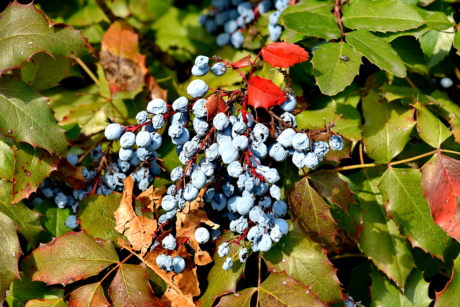 autumn season, berries, shrub, plant, leaves, leaf, nature, autumn, season, color