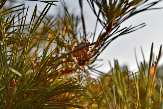 beetle, branches, conifer, insect, sunrays, sunshine, tree, needle, plant, pine