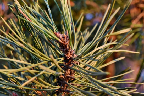 branches, conifers, summer season, sunshine, nature, outdoors, needle, conifer, tree, branch