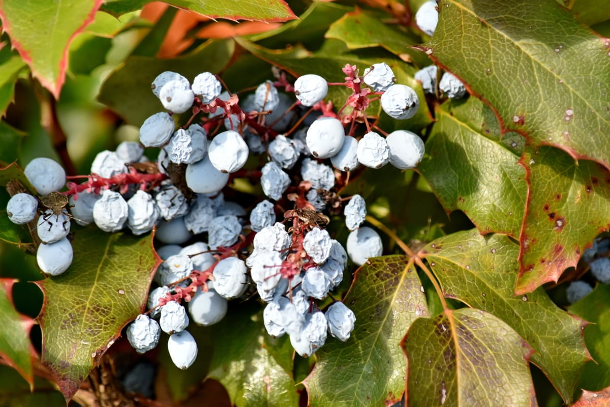 bär, buske, flora, Anläggningen, naturen, träd, frukt, blad, säsong, färg