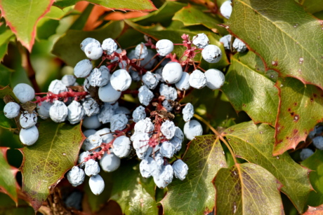 berries, shrub, flora, plant, nature, tree, fruit, leaf, season, color