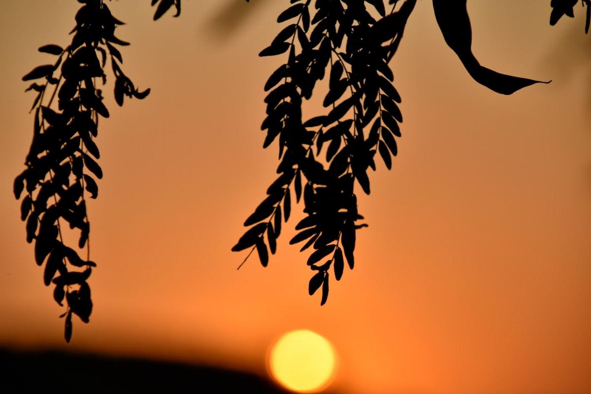 branch, orange yellow, sun, sunset, sunspot, leaf, nature, silhouette, tree, flora