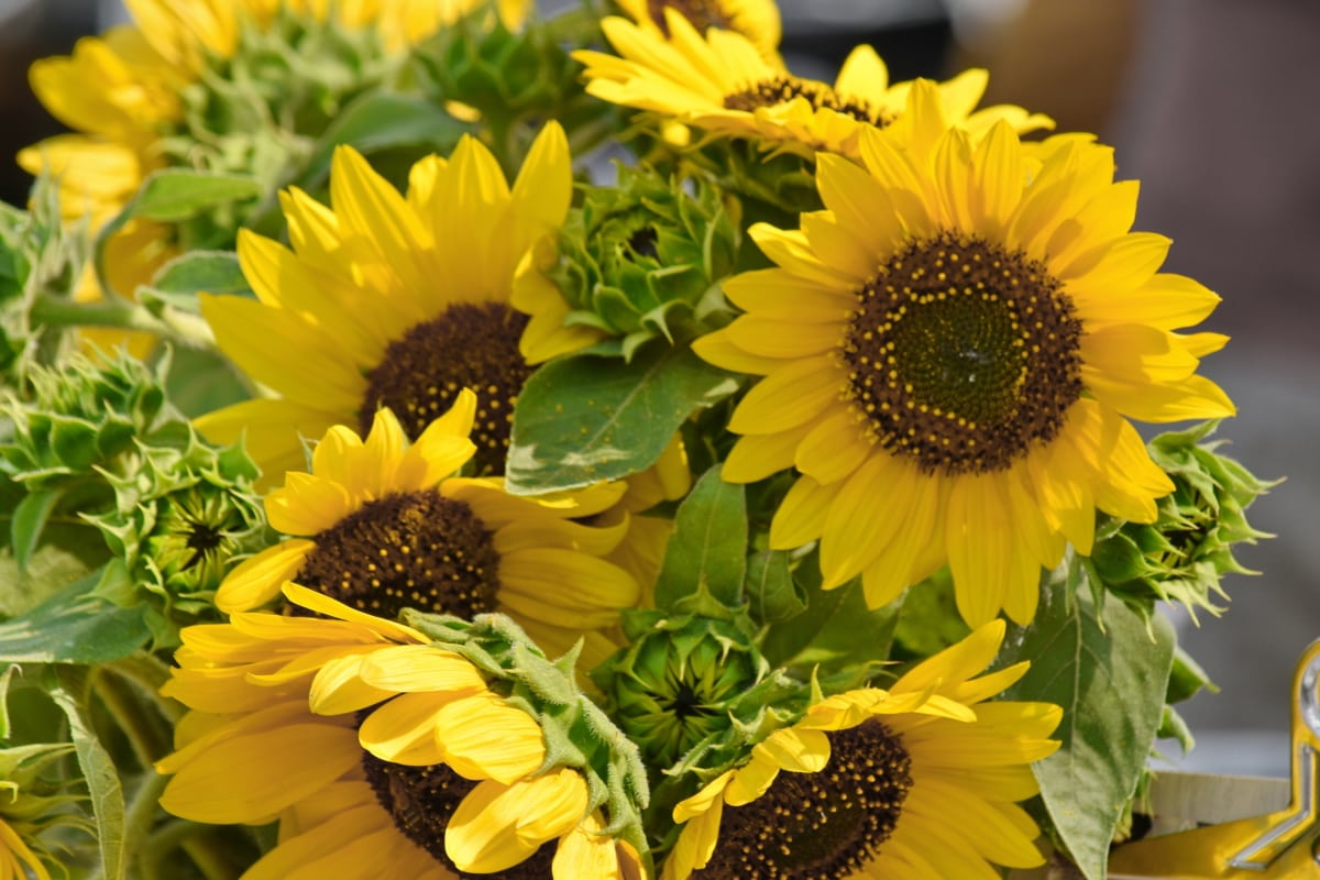 bouquet, seed, sunflower, summer, plant, nature, yellow, leaf, flora, flower
