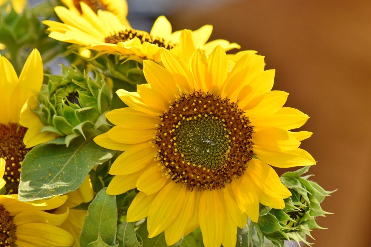 latica, suncokret, cvijet, ljeto, flora, biljka, žuta, priroda, pelud, list