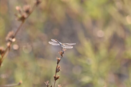 dragonfly, grass, sunset, sunshine, wings, wildlife, nature, outdoors, plant, blur