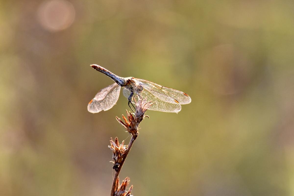 ảnh đẹp, con chuồn chuồn, lacewing, côn trùng, Thiên nhiên, ngoài trời, động vật hoang dã, động vật chân đốt, động vật, côn trùng học