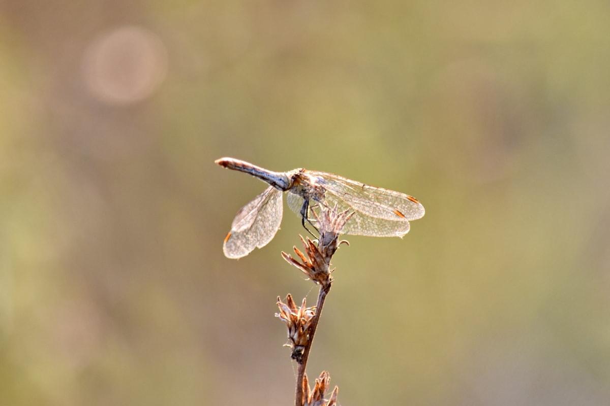 トンボ, 夏のシーズン, 太陽光線, サンセット, 自然, 昆虫, アウトドア, 節足動物, 野生動物, 動物