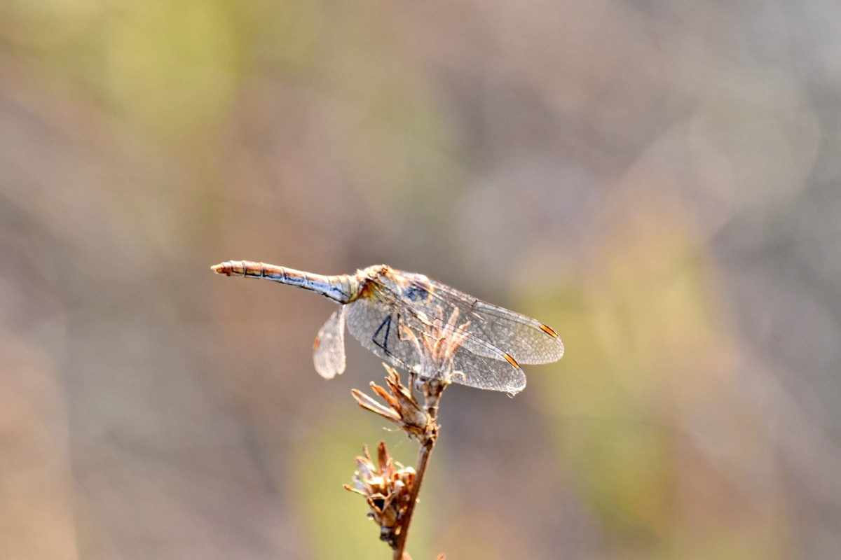 biology, detail, dragonfly, wings, nature, insect, wildlife, outdoors, animal, wild