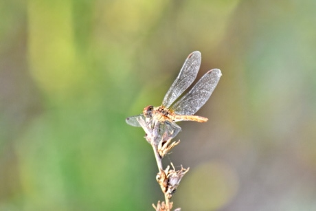 outdoors, wildlife, nature, dragonfly, insect, invertebrate, arthropod, blur, summer, animal