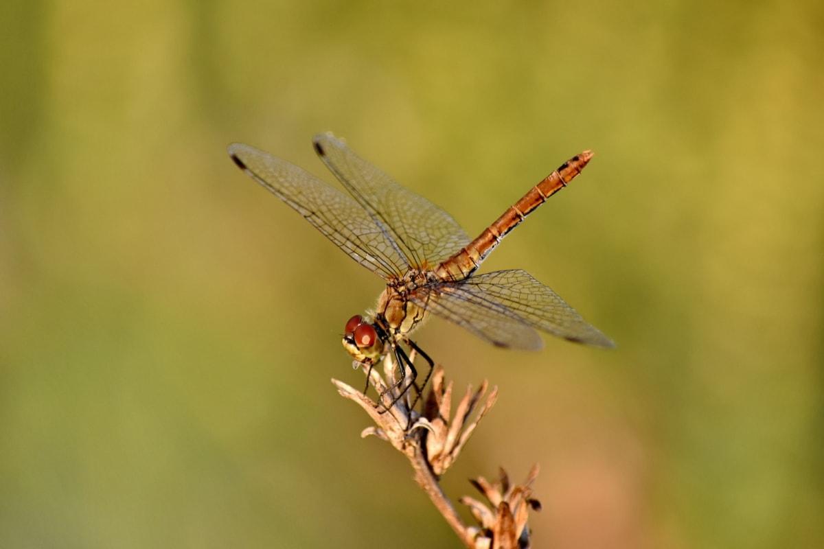 vakre bilde, detaljer, øyenstikker, entomologi, insekt, neuroptera, makro, metamorfose, dyreliv, leddyr