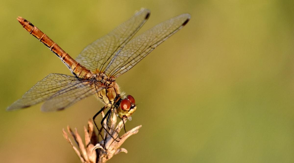 corpo, perto, Libélula, cabeça, inseto, macro, vida selvagem, asas, natureza, artrópode