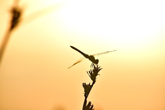 dragonfly, lacewing, shadow, silhouette, sunset, nature, dawn, wildlife, outdoors, backlight