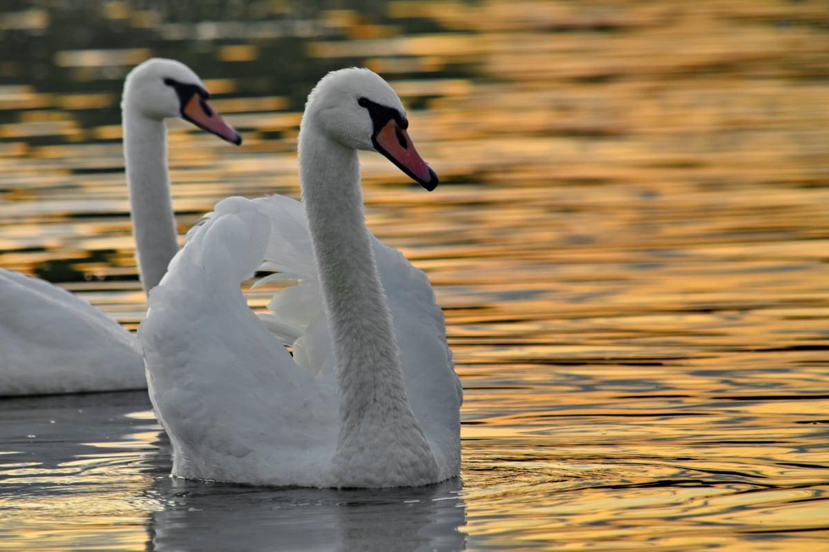 flock, sunset, swan, aquatic bird, lake, waterfowl, water, bird, beak, wildlife