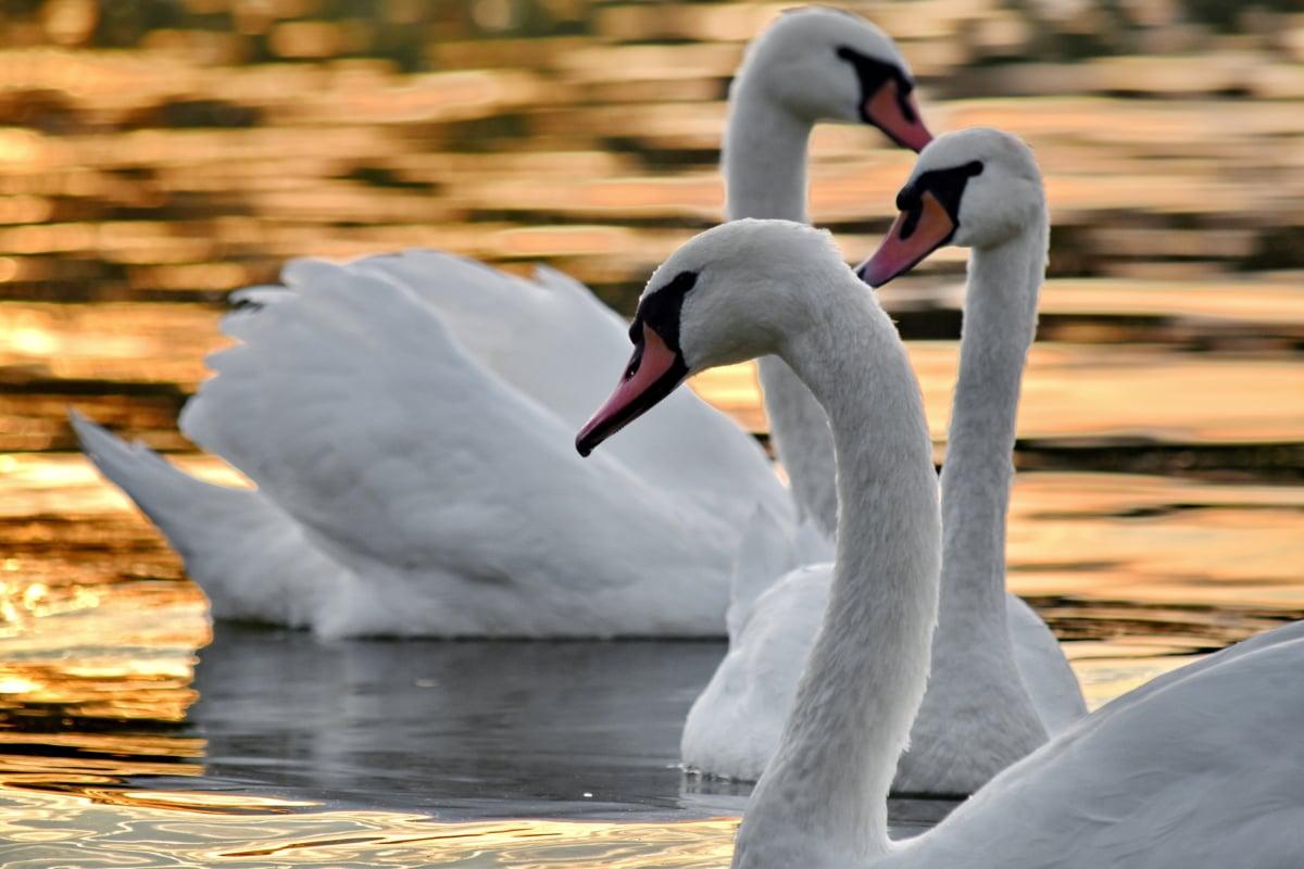 elegant, flock, grace, neck, sunset, swan, water, waterfowl, bird, wildlife