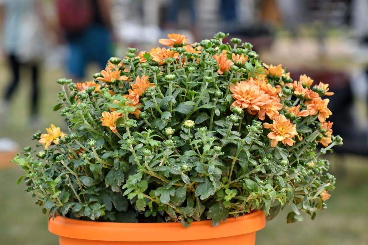 saksija za cvijeće, vrt, narančasto žuta, vanjski, biljka, flora, biljka, list, priroda, cvijet