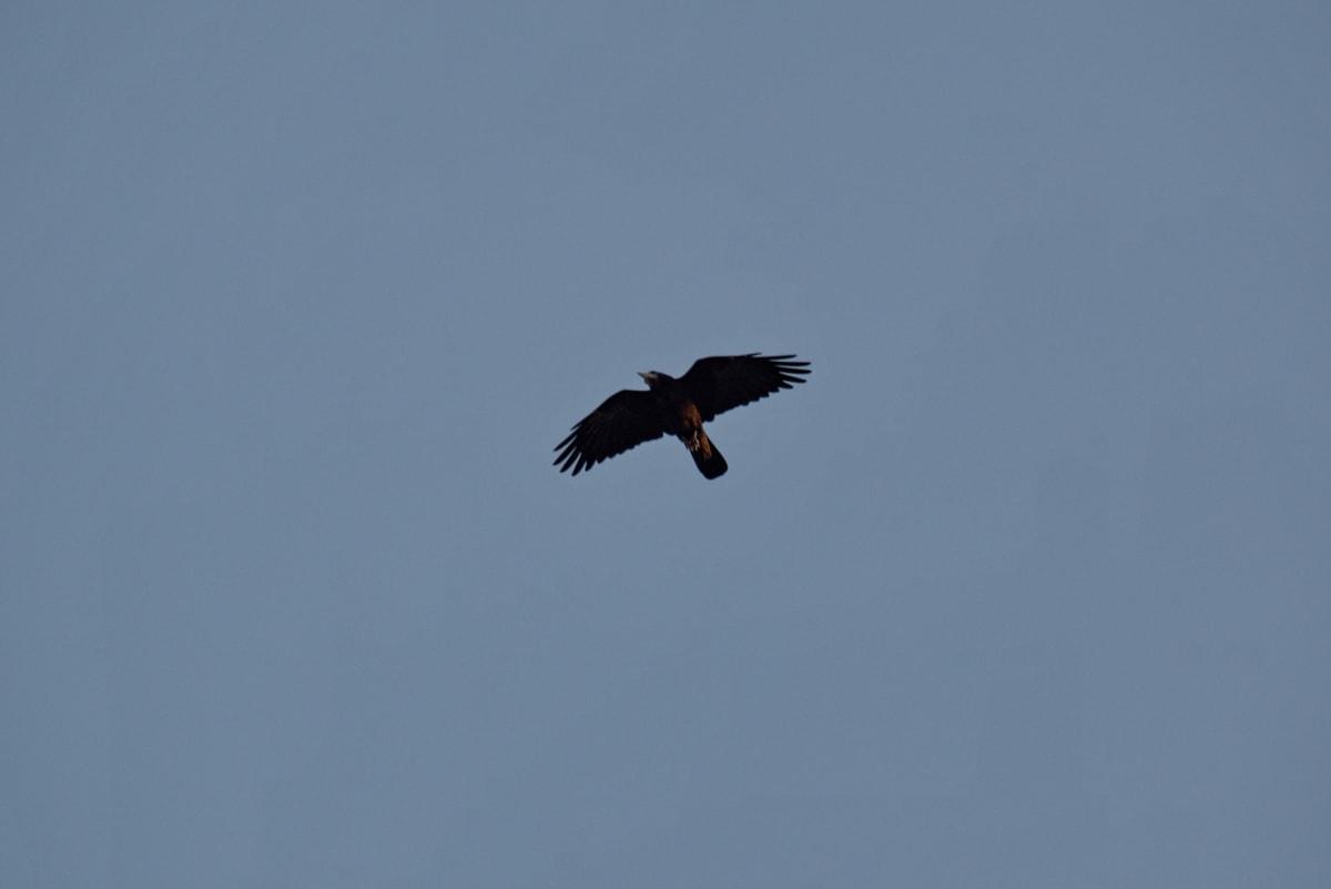 modrá obloha, vrana, lietanie, Nadjazd, prelet, Let, divoké, voľne žijúcich živočíchov, vták, príroda