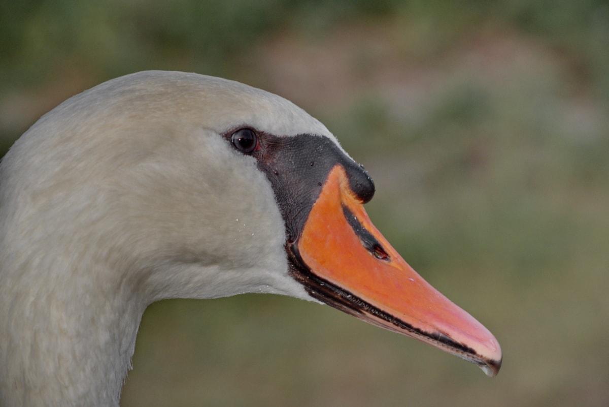 Schnabel, schöne, aus nächster Nähe, Details, Kopf, Seitenansicht, Schwan, nass, aquatische Vogel, Tierwelt