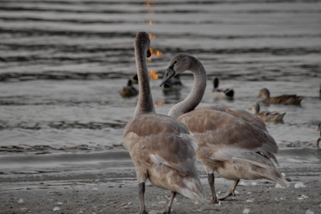 aquatic bird, gray, impressive, sunset, swan, young, feather, water, bird, wildlife