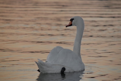 beautiful photo, dusk, grace, swan, swimming, water, aquatic bird, waterfowl, lake, bird