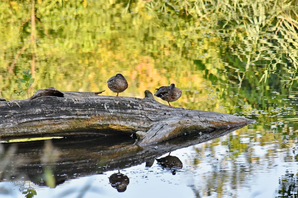 ducks, swamp, wildlife, nature, water, bird, outdoors, animal, wild, lake