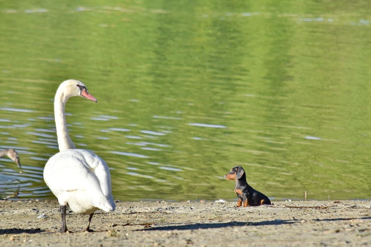 Ακτή, σκύλος, το κουτάβι, καλοκαιρινή σεζόν, Κύκνος, άγρια φύση, ράμφος, υδρόβιων πουλιών, πουλί, υδρόβια πτηνά