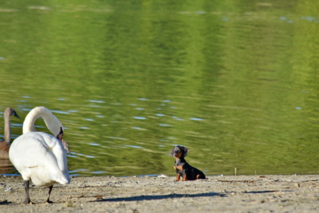 adorable, looking, puppy, swan, water, lake, bird, river, nature, animal