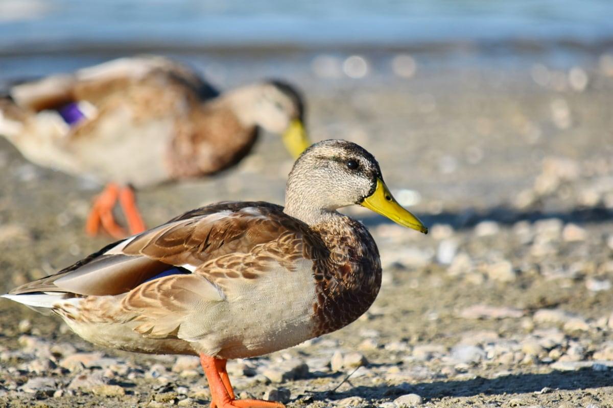 кряква, естественная среда обитания, Дикая природа, утка, Клюв, перо, водоплавающих птиц, птица, утиная птица, Природа