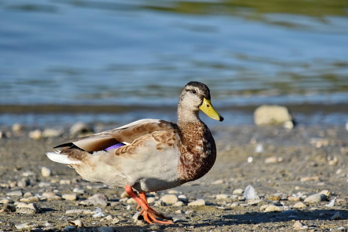 ptičje, glava, gledanje, divlja patka, portret, biljni i životinjski svijet, pero, patka, vodena ptica, kljun