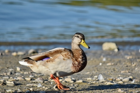 avian, head, looking, mallard, portrait, wildlife, feather, duck, aquatic bird, beak