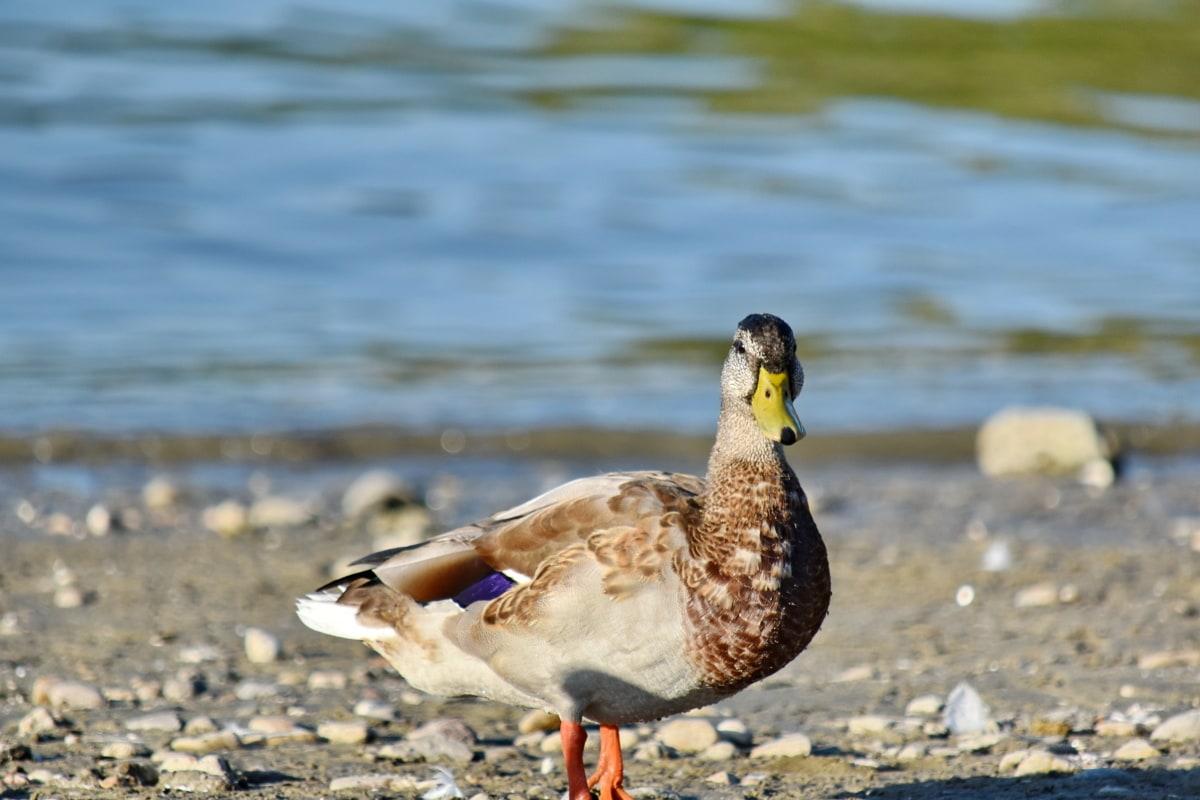 pláž, kačica divá, Bočný pohľad, voda, vodné vtáctvo, príroda, pierko, kačacie vták, vták, kačica