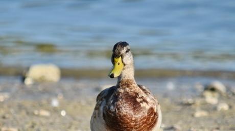 nieuwsgierigheid, op zoek, wilde eend, portret, veer, vogel, dieren in het wild, eend, water, watervogels