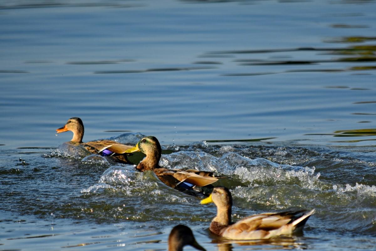 vták, stádo, plávanie, vlny, kačica divá, voda, voľne žijúcich živočíchov, kačica, vodné vtáctvo, bazén