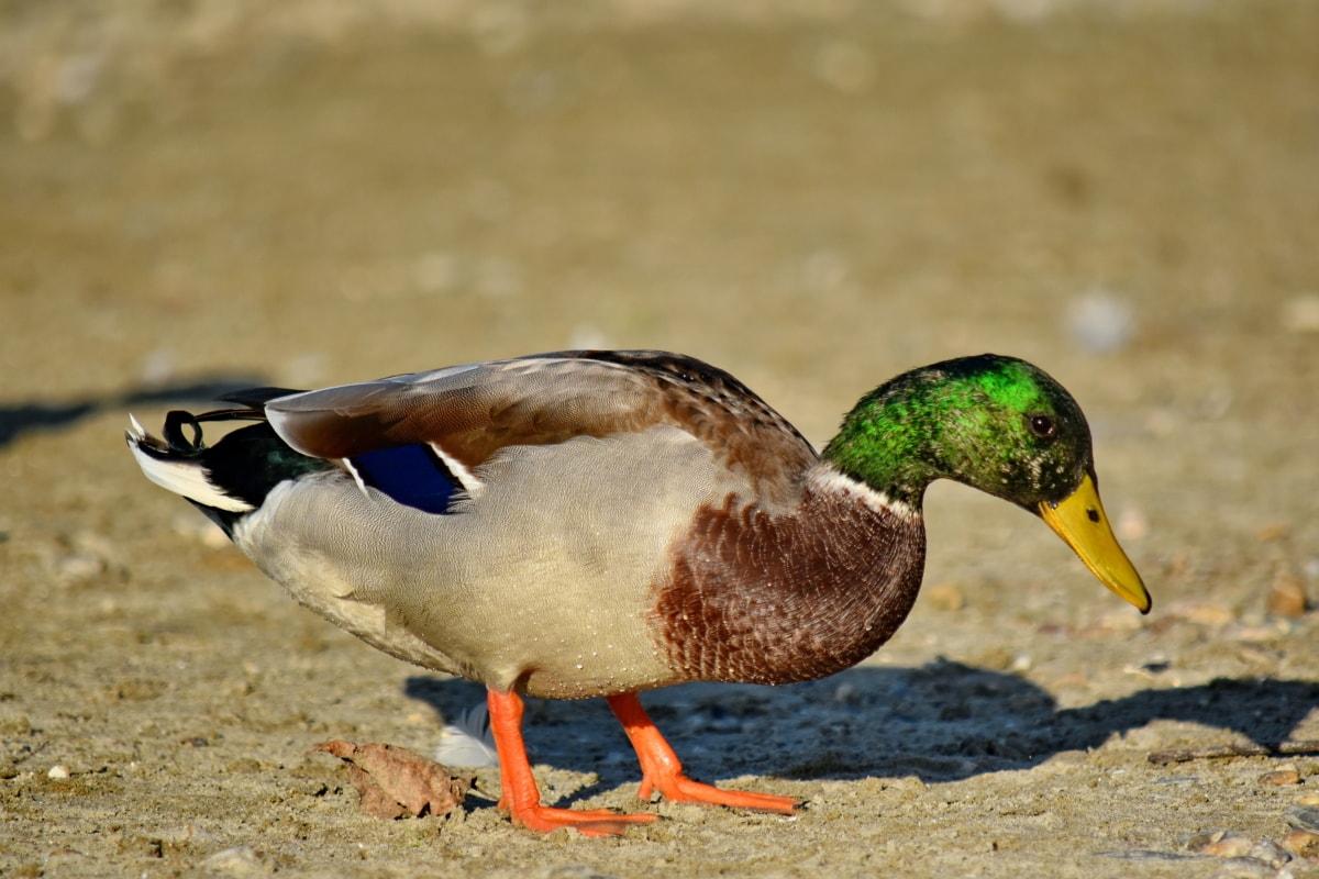 животните, красиво изображение, биология, зеленоглава патица, Страничен изглед, дива природа, зоология, водолюбивите птици, птица, патица птица