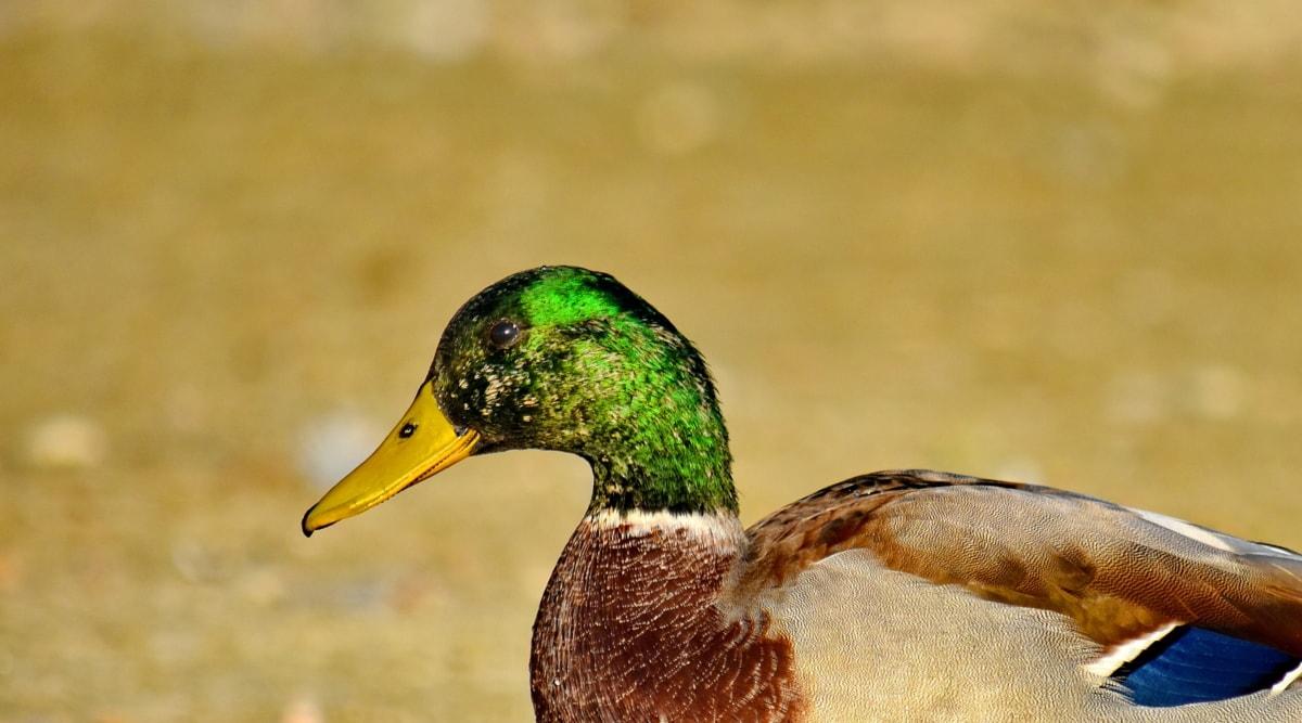 kljun, izbliza, šareno, glava, divlja patka, priroda, krilo, ptice vodarice, divlje, ptica patka