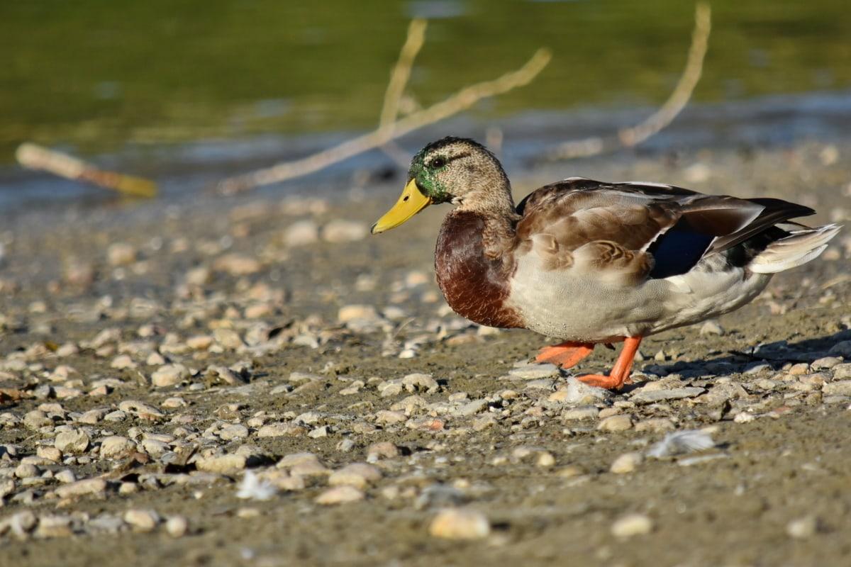 Bãi biển, vịt cổ xanh, viên sỏi, chim bờ, Thiên nhiên, động vật hoang dã, con chim, vịt, vịt con, hồ nước