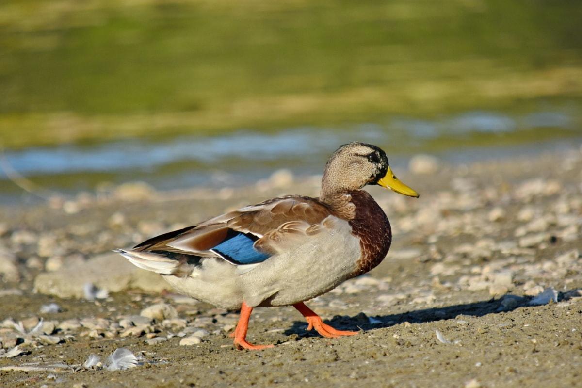spiaggia, Germano reale, habitat naturale, vista laterale, a piedi, anatra, uccello di anatra, fauna selvatica, piuma, uccello