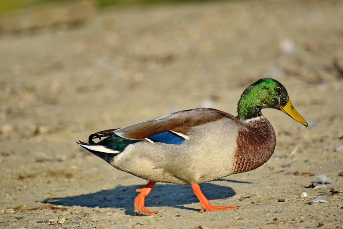 ptica, izbliza, pero, divlja patka, prirodno stanište, sa strane, ptice vodarice, patka, biljni i životinjski svijet, priroda