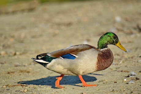 bird, close-up, feather, mallard, natural habitat, side view, waterfowl, duck, wildlife, nature