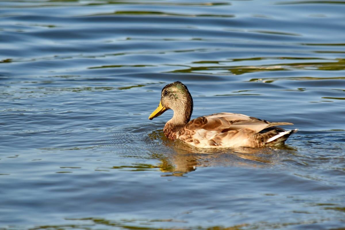 duck, side view, swimming, tail, bird, mallard, water, feather, waterfowl, duck bird