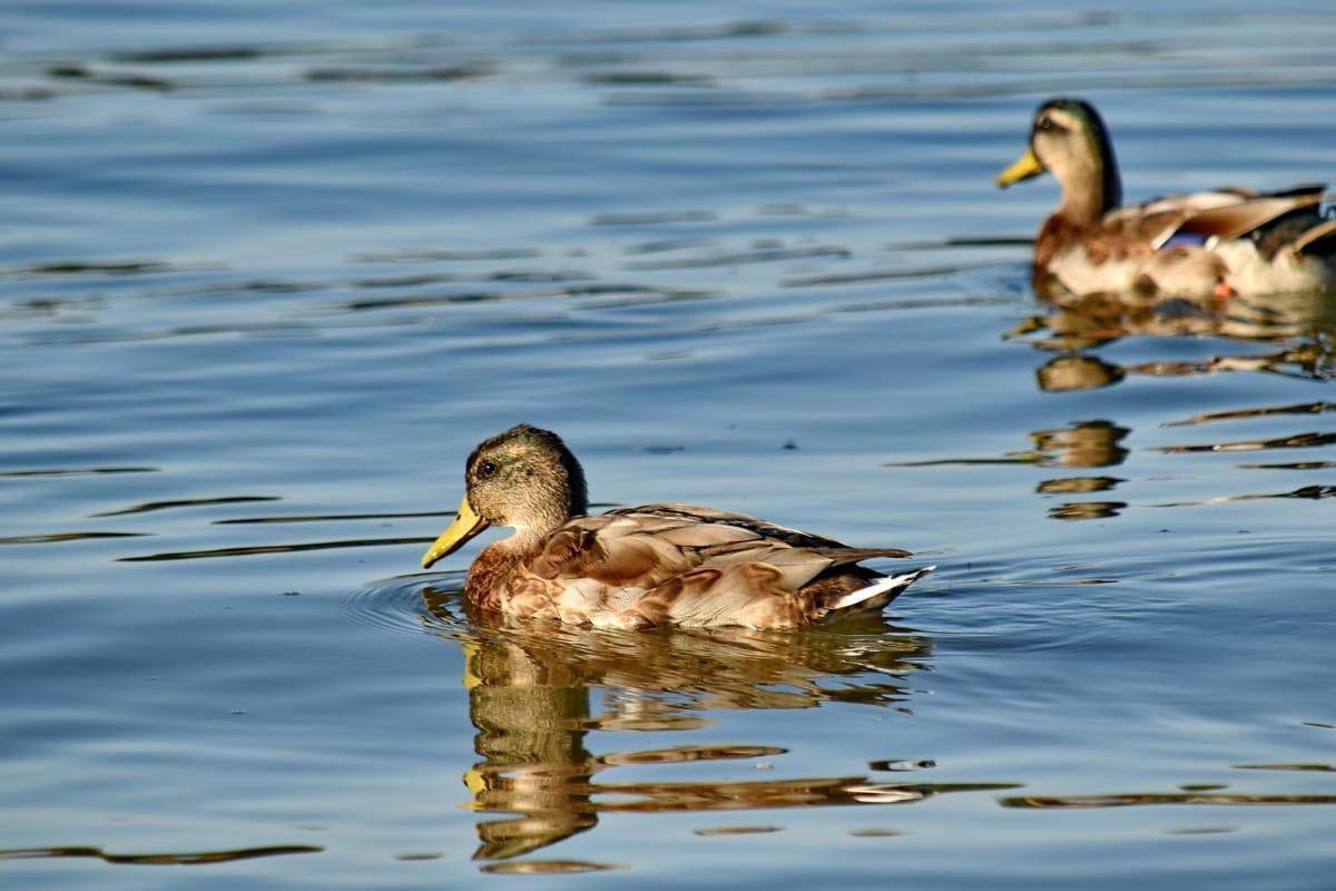 reflecţie, razele de soare, faunei sălbatice, apa, Mallard, raţă, păsările de apă, pene, pasăre, rață pasăre