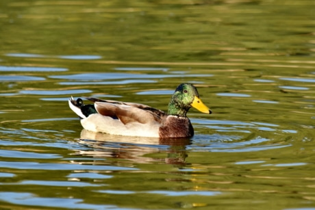 biology, landscape, mallard, swimming, waves, wet, wildlife, lake, bird, water
