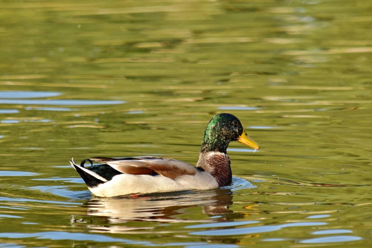 farebné, kačica, kačica divá, biotop, západ slnka, vodné vtáctvo, jazero, pierko, kačacie vták, vták