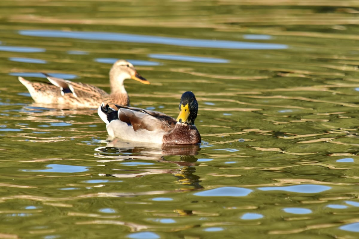 aquatic bird, colorful, duck, swimmer, swimming, water, wildlife, lake, waterfowl, bird