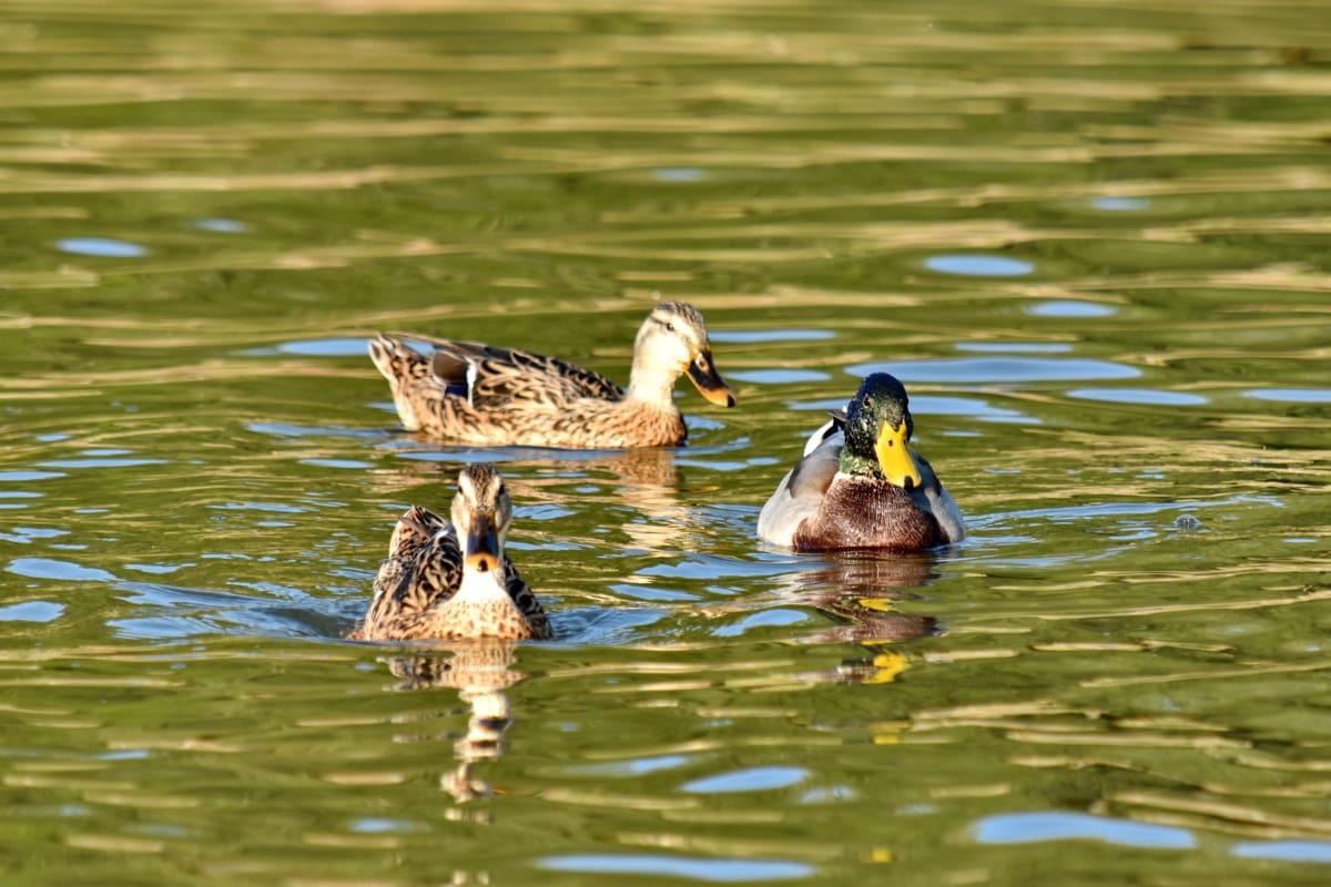 kačice, stádo, Letná sezóna, spolu, voda, vták, voľne žijúcich živočíchov, kačacie vták, kačica, Vodné vták
