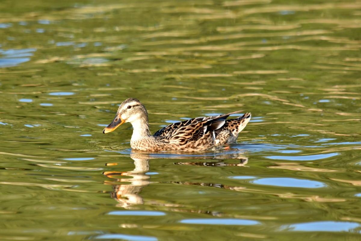 kačica, biotop, zameraním, plávanie, vták, voda, voľne žijúcich živočíchov, bazén, pierko, kačacie vták