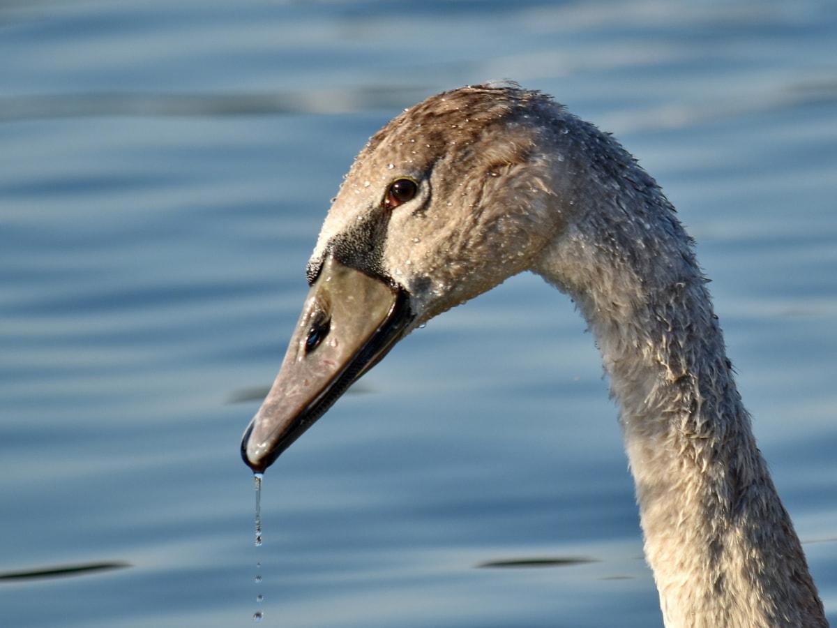 красивые фото, глаз, Смотреть, Шея, Лебедь, капли воды, Молодые, Природа, водные птицы, Дикая природа