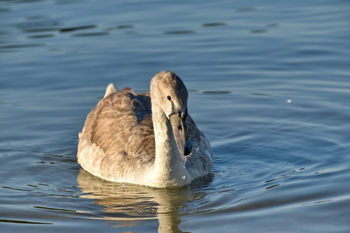 Lac, ornithologie, cygne, piscine, gouttes d'eau, eau, sauvagine, nature, oiseau, faune