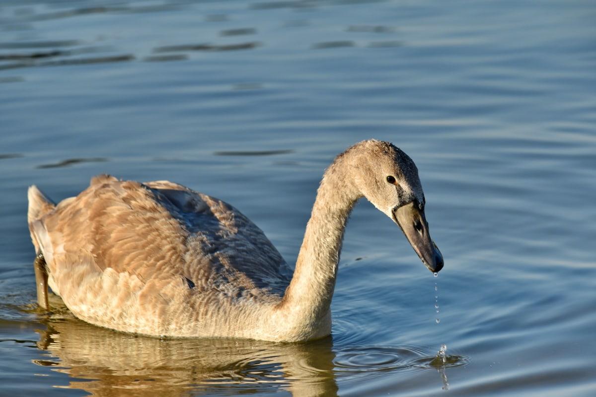 Schnabel, grau, Migration, Schwan, Schwimmen, Wassertropfen, Tierwelt, Wasservögel, Natur, Wasser